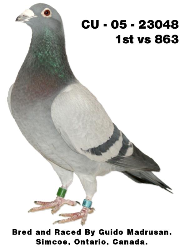 CU – 05 – 23048 Racing Pigeon