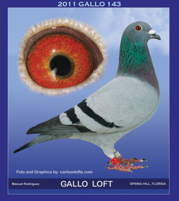 GALLO-143