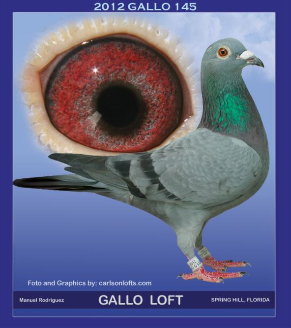 GALLO-145-HEN