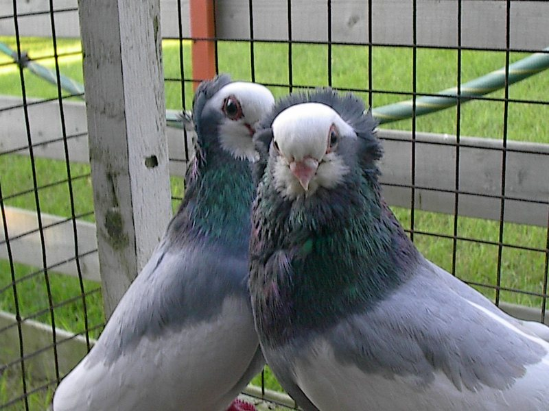 Racing Pigeons For Sale in Ontario - Pigeon Empire